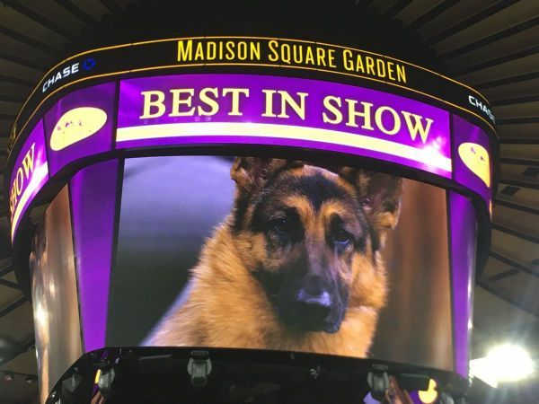 Westminster Dog Show: 'Best In Show' Winner, 2017 RUMOR   Finally, a real dog wins!