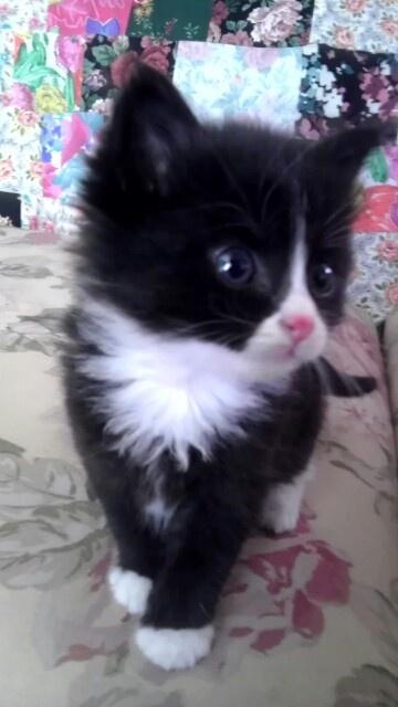 17 Best images about Tuxedo Cats on Pinterest | Cats, Cat ...  |Tuxedo Munchkin Cat Kittens