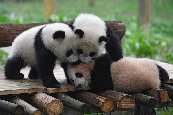 Three giant panda cubs were the star attraction as they played around in their enclosure at the Chongquin Zoo in China. The little bears were given the names Yu Bao, Yu Bei and Lian Yue at a naming celebration over the weekend. Adorable images showed the cheeky trio play fight with each other and snuggle up to zoo keepers. Chongqing Zoo started to breed giant pandas in 1960 and now have around 15 of the creatures living in captivity.
