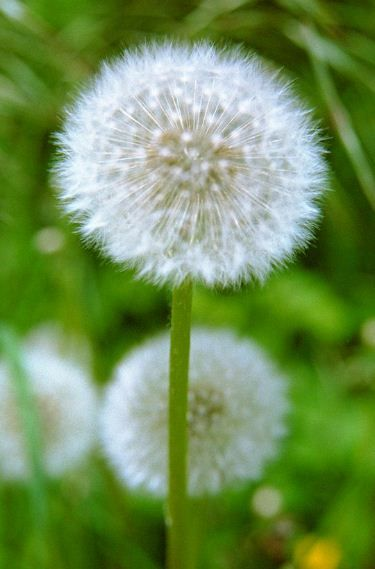 """From the children's book, """"Dandelions and Daydreams"""": The dandelion that we know is found in may places// Across the whole wide world it lifts a million golden faces// It grows in countries everywhere, and here at home in ours// I think that it must surely be God's favorite of all flowers!"""