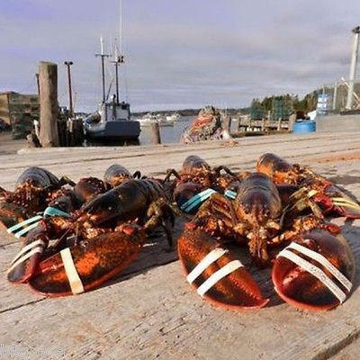 Six 1.25-lb. Live Maine Lobsters By Atwood Lobster Fresh Seafood Bisque