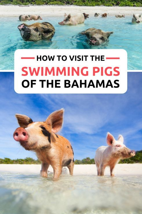 Discover the Bahamas Pigs on https://www.exquisitecoasts.com/