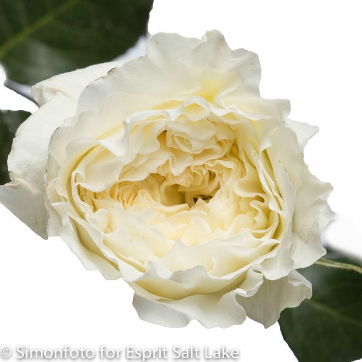 patience white cream garden rose - White Patience Garden Rose