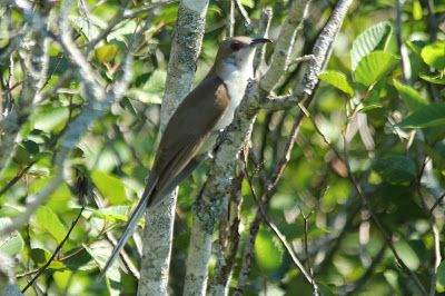 Here and There: Day 214 - 2nd August 2015 - Black-billed Cuckoo, B...