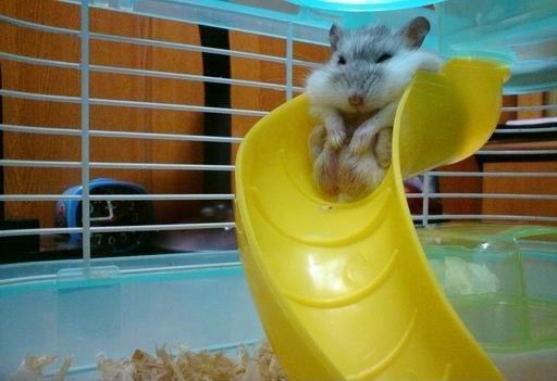 : Laughing, I'M Fat, So Cute, Giggl, Hamsters, Funny Stuff, Funny Animal, Hilarious, Smile