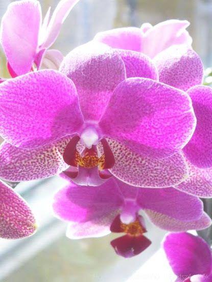 Orchideák gondozása. Ne dobjuk ki elvirágzás után a csodás növényt!