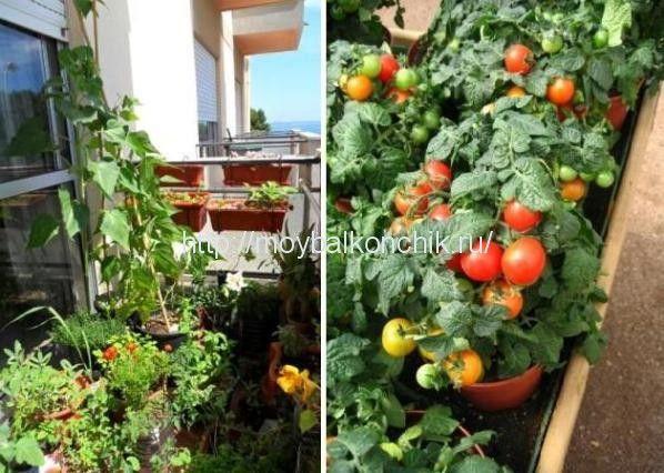 овощи - огурцы и помидоры на балконе