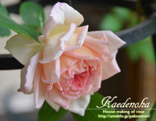 ジャネット薫るエントランスの剪定 カエデノハ ‐バラの家造り‐
