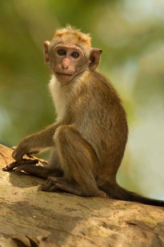 Galery - Makak bandar / Toque Macaque - Milan Zygmunt | # ...