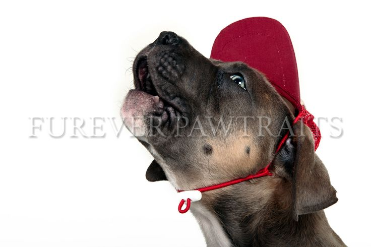 """This is """"Harold"""" the Blue / Fawn Staffie.  Furever Pawtraits - Perth, Pet Photographer - Robbie Goodall"""