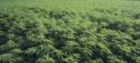 Mat Beren coltiva marijuana sull'isola di Victoria, proprio di fronte a Vancouver. È membro della Vancouver Island Compassion Society... http://www.fainotizia.it/contributo/05-05-2014/testo/compassion-society-dal-produttore-al-cosumatore  Tutta l'inchiesta http://www.fainotizia.it/inchiesta/05-05-2014/cannabis-terapeutica-il-canada-si-riscopre-proibizionista