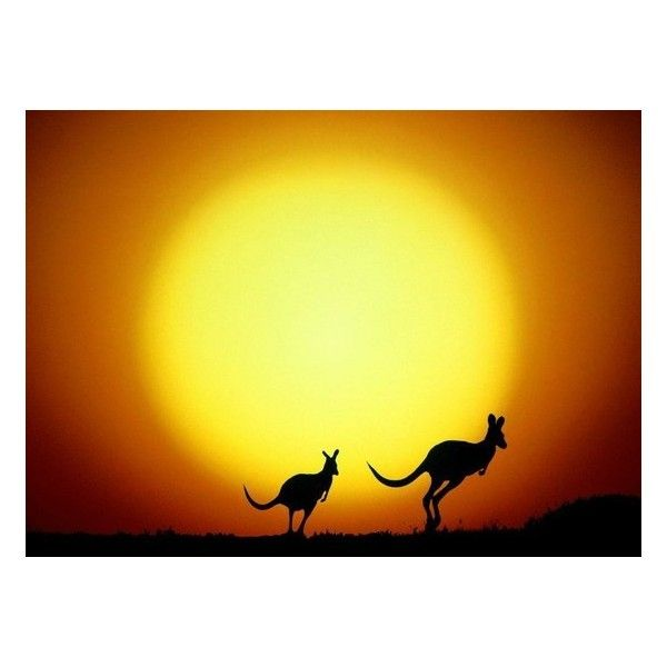 Kangaroos Outback STOCK PHOTOGRAPHY - Photo Kangaroos Jumping in front... ❤ liked on Polyvore featuring backgrounds, australia and sun