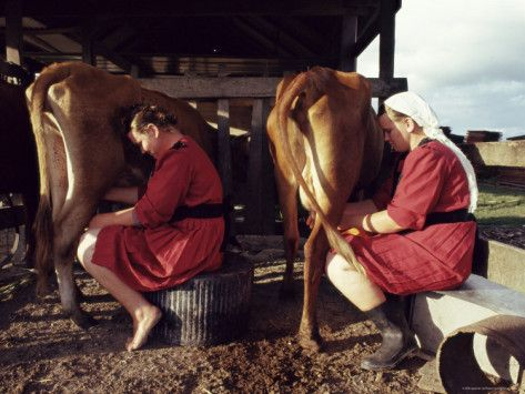 Shipyard, Belize | ... Mennonite Girls Miling Cows, Camp 9, Shipyard, Belize, Central America