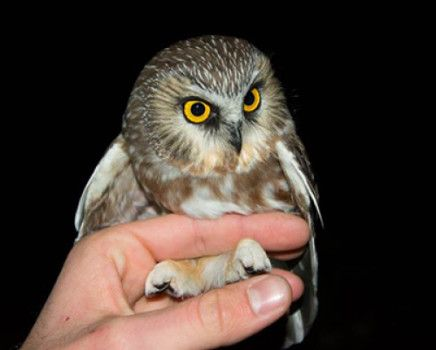 In late November, University of Arkansas wildlife biologists caught this bird, the first northern saw-whet owl captured in Arkansas. Credit: Image courtesy of University of Arkansas, Fayetteville