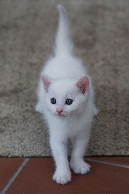 White kitten :) I would LOVE a white kitten that stays inside <3 since a ferret won't work :/