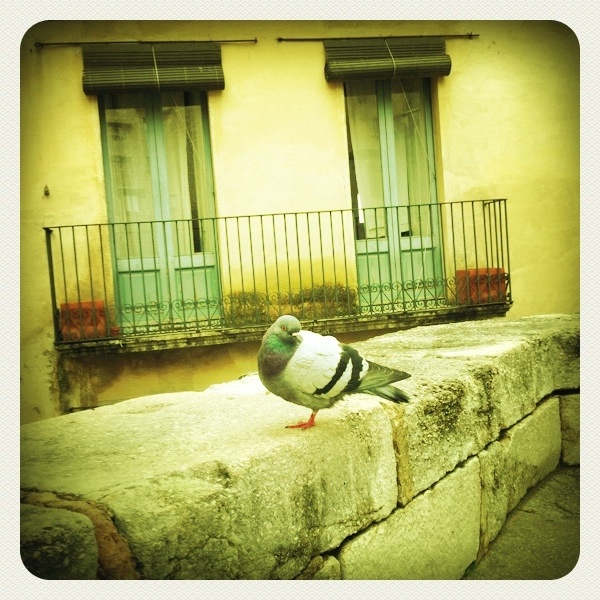 one legged pigeon