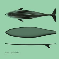 Surfph-o-Morph, design by Giulio Iacchetti. The idea is to draw on the morphology of large fish and cetaceans to ensure an optimal performanance