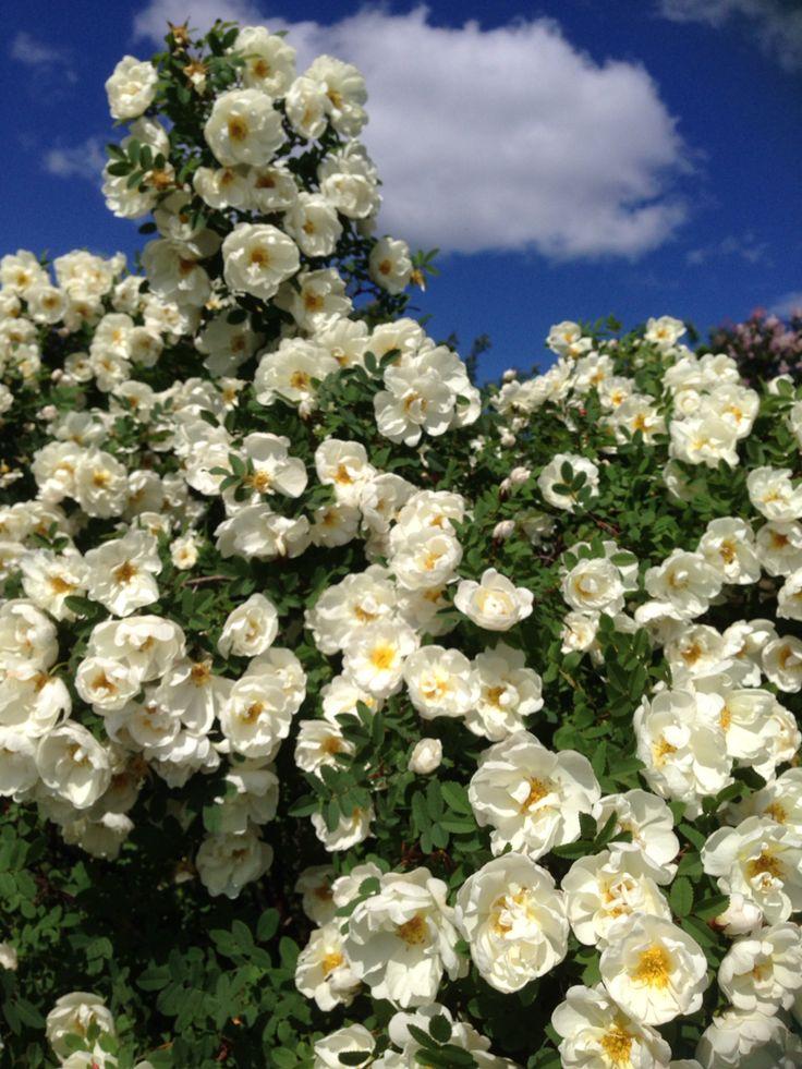 Rosegarden on my backyard