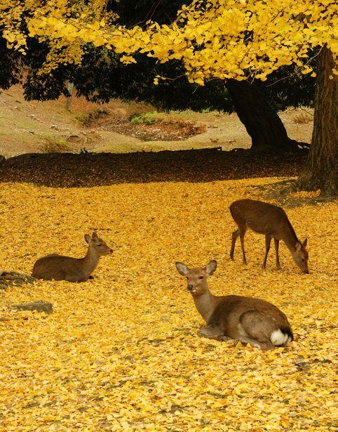 古都の秋,Nara