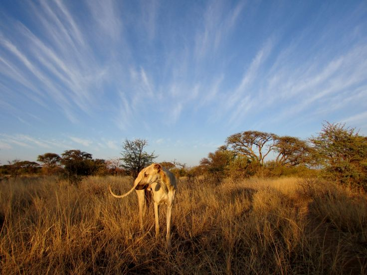 """South African Greyhound, also known as the """"Boerwindhond""""."""