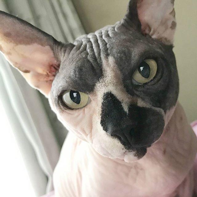 #ねこ#ねこばか #猫好き#猫#スフィンクス猫 #愛猫#にゃんすたぐらむ #にゃんこ#ilovemycat #cat#cats#catsofinstagram #catstagram#sphynx #sphynxlair#sphynxcats #sphynxcatsofinstagram  #sphynxlove#instcat  #instasphynx