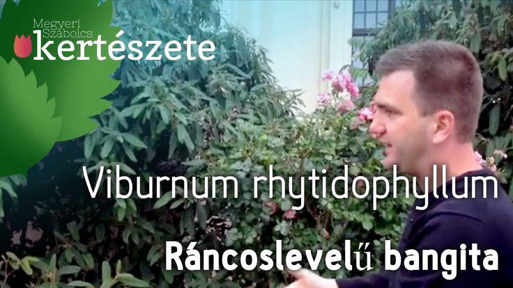 Ráncoslevelű bangita -  Viburnum rhytidophyllum - Megyeri Szabolcs onlin...
