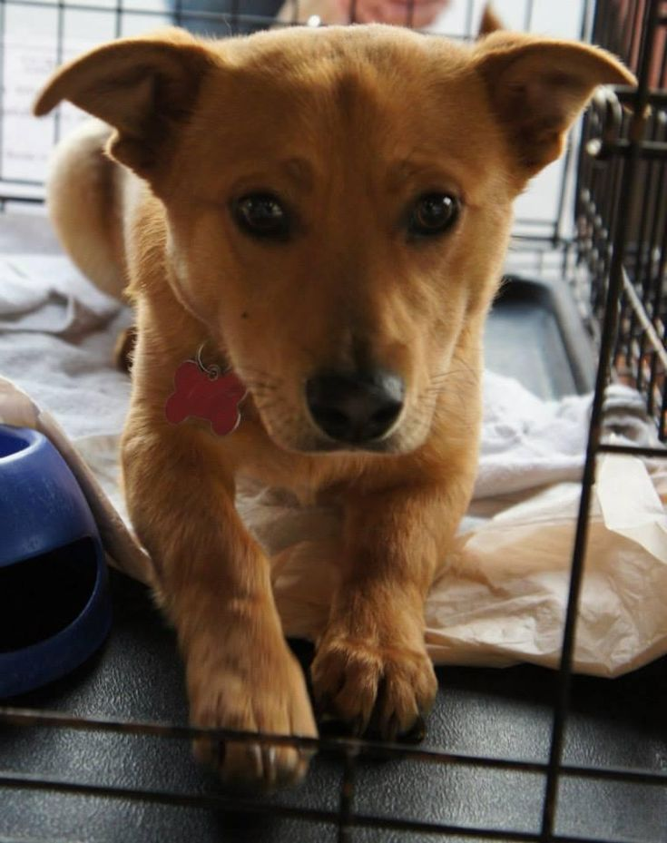 Rigby is a 8 month old male Corgi / Lab mix, about 20 pounds.Rigby needs a BIG fenced yard or acreage. He would like a family that would take him sheep herding or to agility. He would not make a great city/ urban dog unless you were a daily runner...