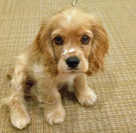 cocker spaniel eyes 17 best images about cocker spaniel love on pinterest 2519