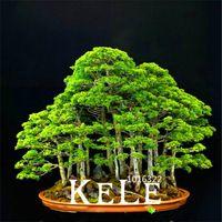 20 juniper дерево бонсай Семена цветы в горшках офис бонсай очистки воздуха поглощать вредные газы, # 7D1QEX