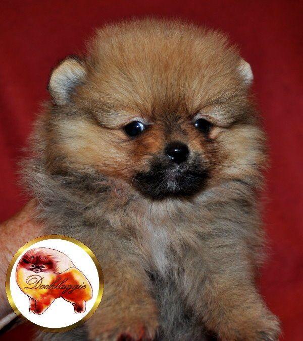 Orange Pomeranian Puppy Pomeranianpuppy Pomeranian Pomeranian Puppy Puppies Pomeranian Dog
