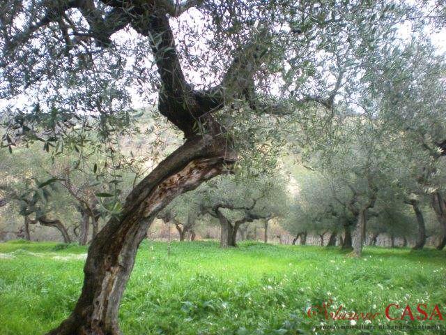 47-18 € 60.000,00 #annunciimmobiliari #vendita #forsale #terrenoinvendita #landforsale Italia Abruzzo #LoretoAprutino (Pescara) mq 10000, piante di ulivo.