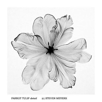 Parrot Tulip, detail, x-ray - Steven Meyers - beautiful
