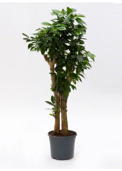 76 best great indoor plants images on pinterest indoor house plants indoor plants and inside - Great indoor houseplants ...