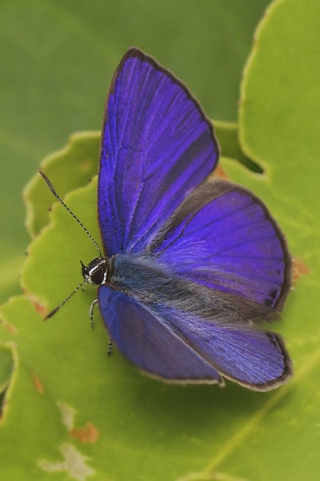 IMG_6399+ciliate+blue+(Anthen+emolus+goberus)