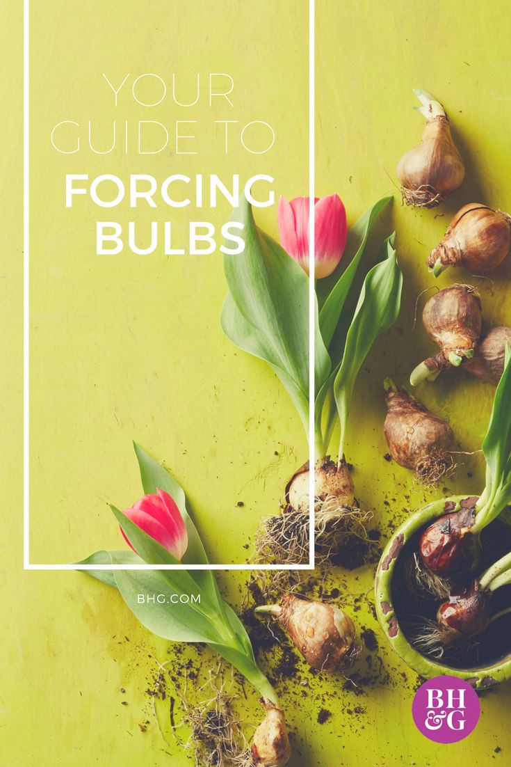 Learn how to force spring bulbs such as #tulips, #hyacinths, and #daffodils to bloom in pots with our how-to guide. By forcing bulbs, you can enjoy beautiful blooms indoors in those not-so-warm months. #gardening #garden #springbulbs #forcingbulbs