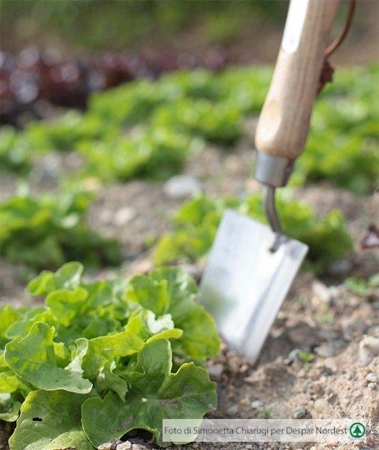 4 regole per coltivare con successo la lattuga | casadivita.despar.it