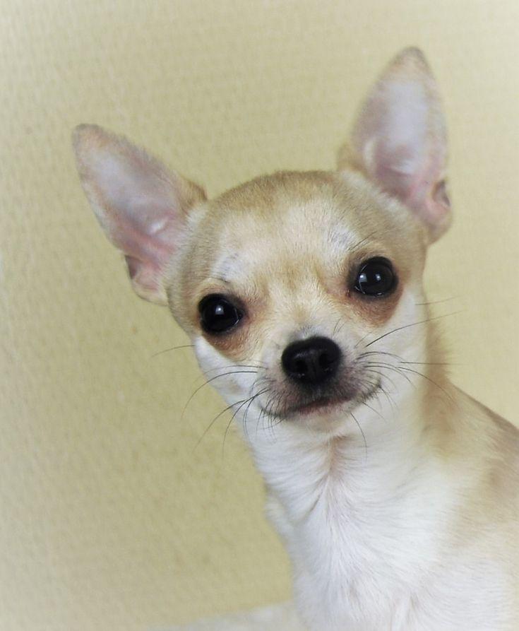 Chihuahua poil court beige