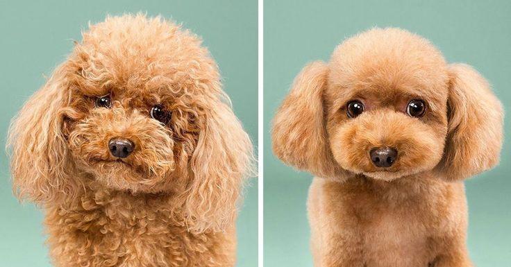 Una fotógrafa de animales llamada Grace Chon ha publicado una nueva serie de fotos titulada HAIRY. Siempre hemos encontrado muy divertidas las fotos del antes y el después de un corte de pelo de un perro. Por lo general, ni siquiera parece que son el mismo perro al comparar las fotos. Grace tenía la idea de fotografiar una serie de fotos que pusieran de manifiesto esta transformación extrema. Cada perro fue mucho más allá de su estado normal de aseo personal para que llegaran al momento del…