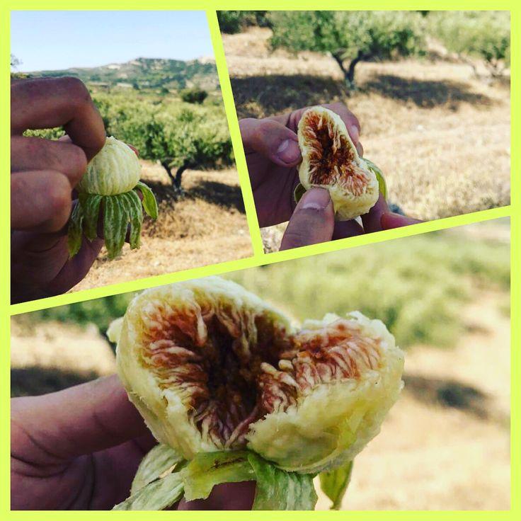 Die Feigen sind reif im Bio Olivenhain Melissa von Arvanitakis!