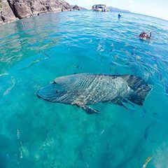 Humphead Maori Wrasse spotted at Manta Ray Bay off Hook Island in the Whitsundays by @[233474514378:274:Ocean Rafting]. docile behavior and massive size, these gentle giants are found throughout Queensland's Great Barrier Reef. known to reach up to two meters in length when fully grown.'
