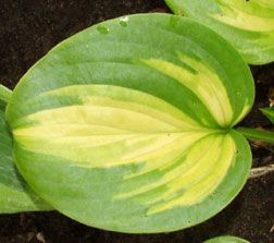 """Hosta 'Cathedral Windows'. Tetraploid. Clump size : (L) 34"""" x 19"""".  Leaf Size: 10"""" x 9"""". Leaves are rounded to heart-shaped, bright yellow with a wide medium to dark green margin, forming a large, fast growing clump. Blooms: Large, very fragrant, pale lavender flowers bloom in August.  It is very fragrant and colors best when grown in a bright location. Morning sun to dappled shade. Humus-rich, moist but well-drained soil. Related Plants: Stained Glass, Guacamole, Holy Mole. Zones: 2 - 9"""