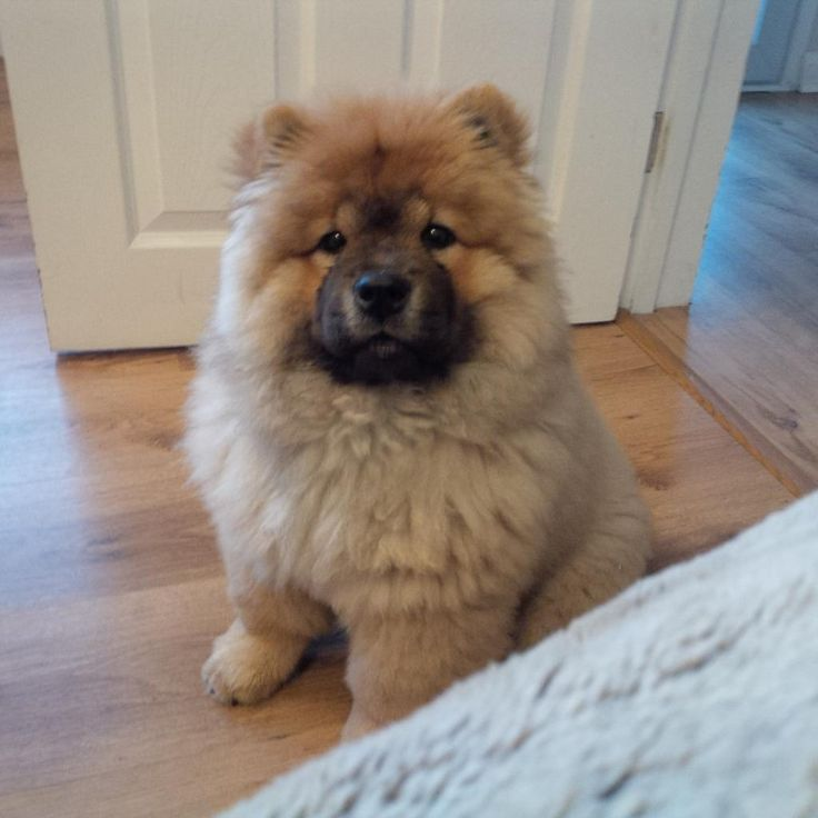 Adorable Chow Chow Puppies with Natural Coat Photos
