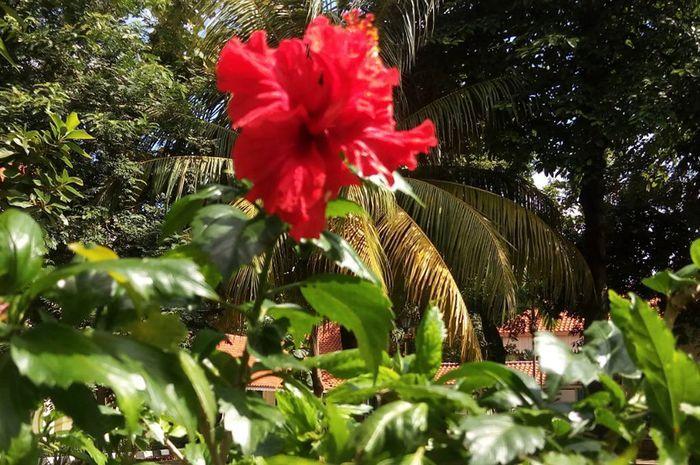 Gambar Bunga Lengkap Dan Bunga Tidak Lengkap Yuk Belajar Bunga Lengkap Dan Sempurna Bersama Kembang Sepatu Gambar Bunga Kembang Sepatu Bunga Kembang Sepatu