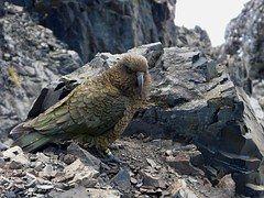 Neuseeland, Lawine-Gipfel, Papagei