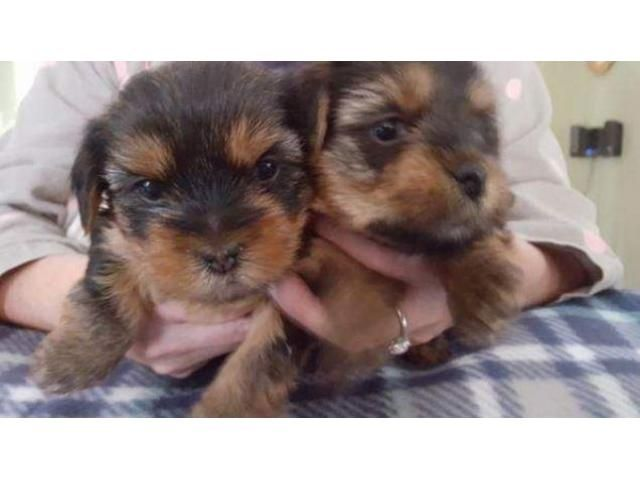 Dogs Puppies For Sale In Atlanta Georgia In 2020 Yorkie Puppy For Sale Yorkie Puppy Teacup Yorkie For Sale