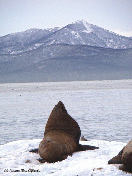 #kamchatka #russia #wildnature #камчатка #sealion