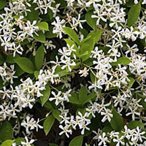 Jasmine climber - have it on my front porch. Delicious fragrance in the spring, lush vine all year round.