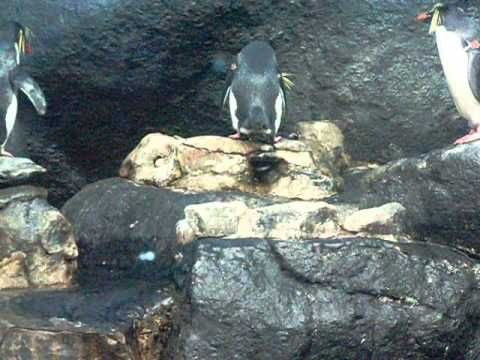 Rockhopper #Penguins at Under Water World Langkawi #Malaysia