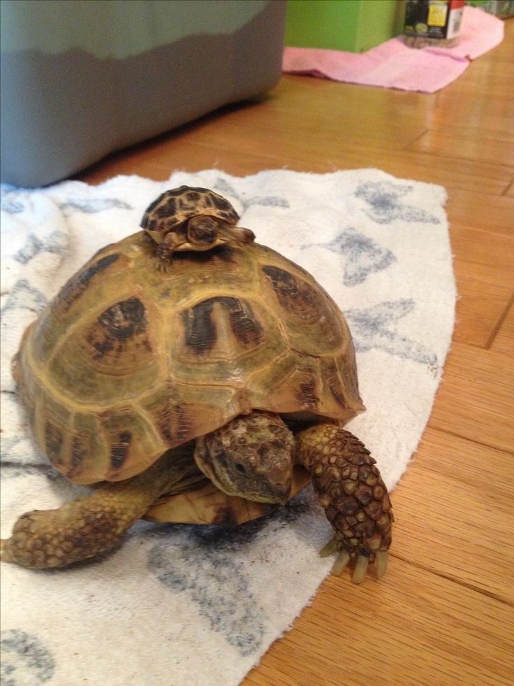 Adult and baby Russian Tortoise.