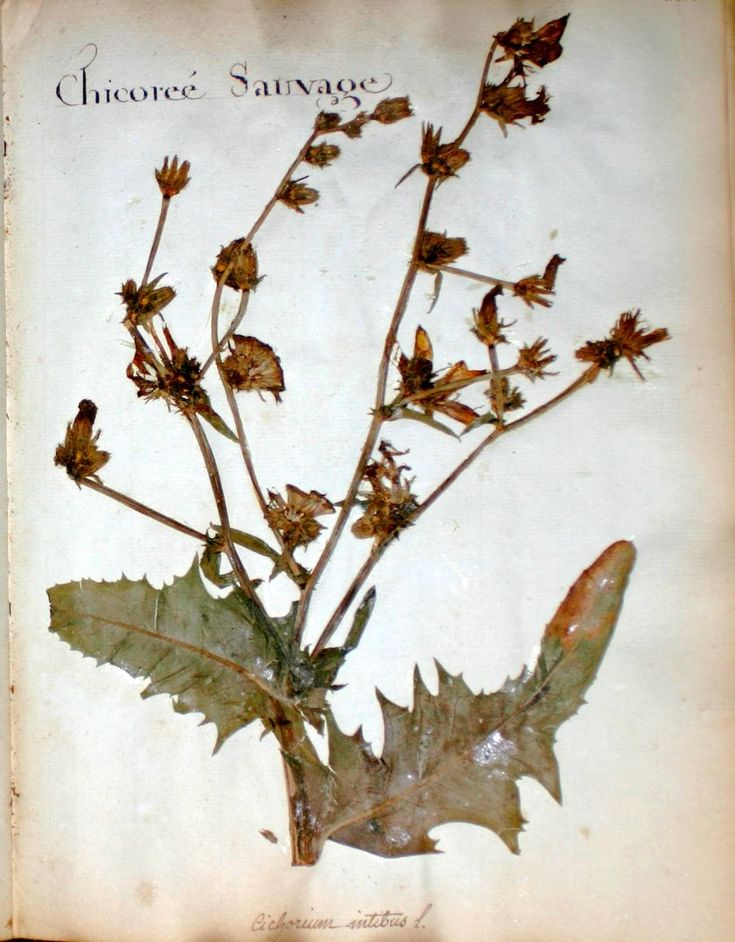 fleurs herbier - fleurs herbier - chicoree sauvage - Gravures, illustrations, dessins, images